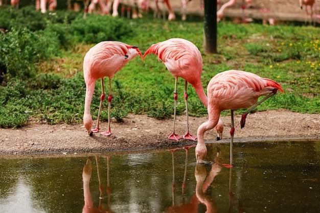 Розовые фламинго в природе. группа розовых фламинго, охота в пруду. оазис зелени в городских условиях, фламинго