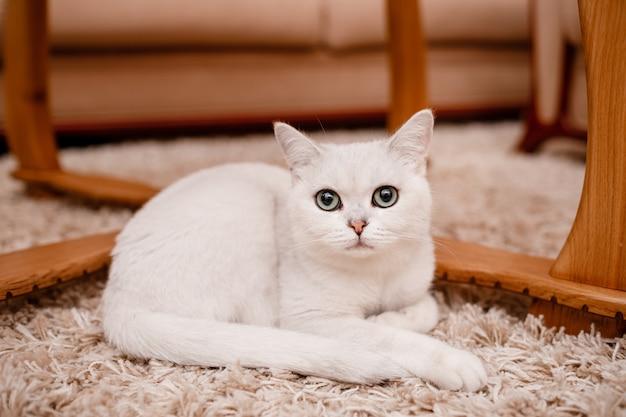青い目をしたかわいい白猫はカメラに見えるし、自宅のカーペットの上に座っています。