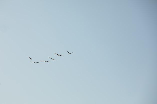 青い空を飛んでいるコウノトリのグループ。野生の鳥は暖かい土地で冬眠するために飛び去ります