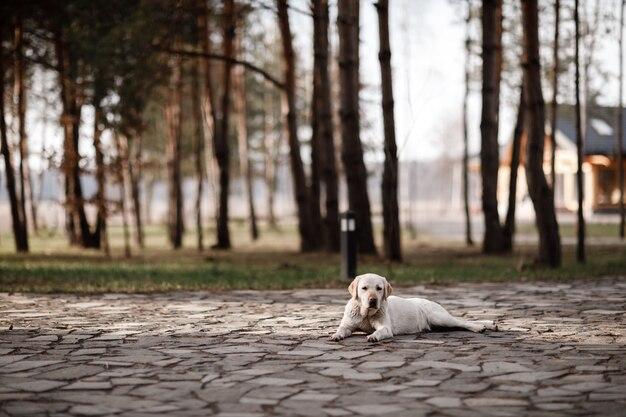 Одинокий лабрадор ретривер отдыха на открытом воздухе в парке. выборочный фокус