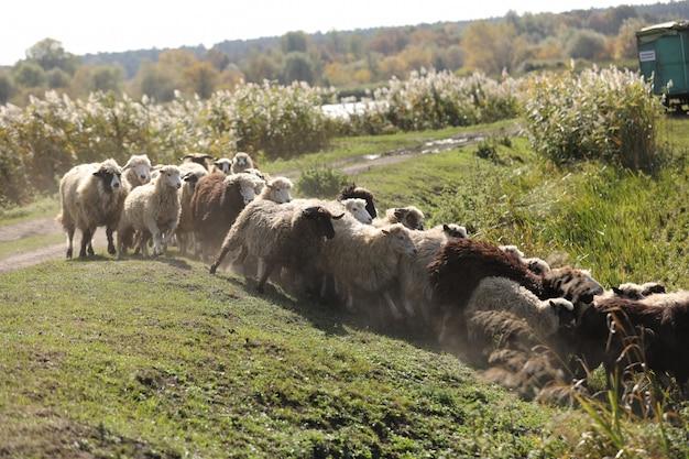 羊の群れは外の牧草地の草で放牧します。セレクティブフォーカス。