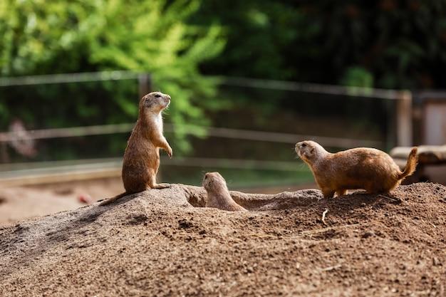Смешные суслики белка в зоопарке