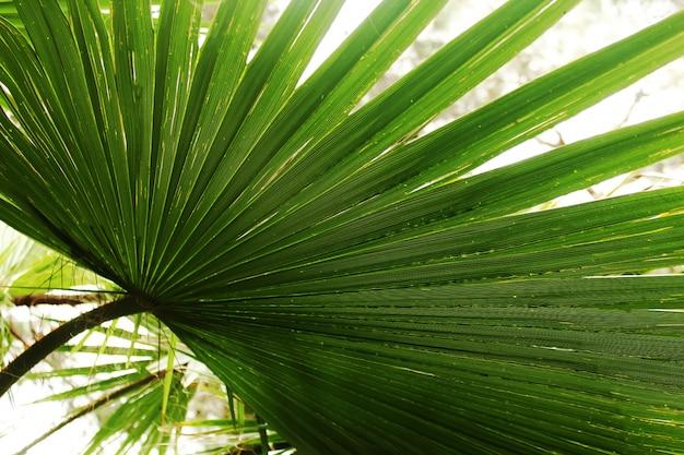 Текстура пальмовых листьев. летняя концепция