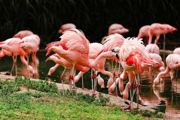 池で狩りをしているピンクのフラミンゴのグループ