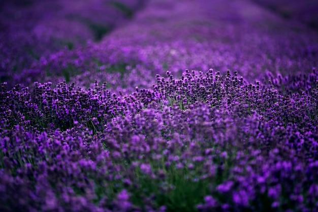 Море цветов лаванды