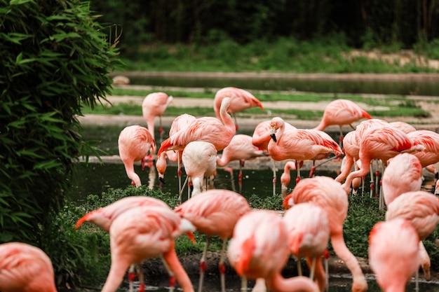 池で狩りをするピンクのフラミンゴのグループ、都会の緑のオアシス。動物園のフラミンゴ