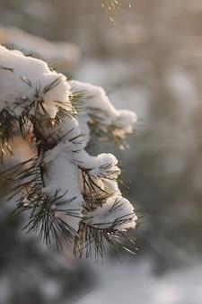 冬の松の木の枝は雪で覆われています。冬の森の冷凍木の枝。
