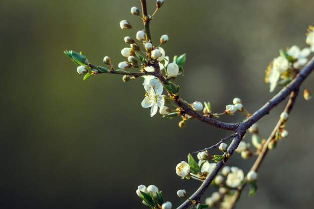 Вишневые маленькие и простые цветы весной. вишневый цвет, вишневое дерево, бутон, малая глубина резкости.