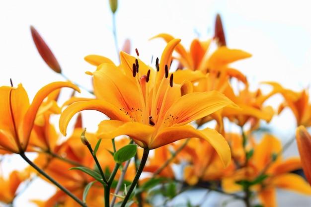 花壇に黄色のアジアハイブリッドユリ。夏の庭で成長している新鮮な花の花束。閉じる。