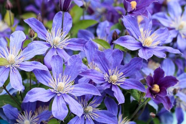 夏の日の庭の背景の上の装飾のための花壇の青い花。閉じる。