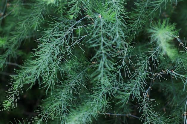 背景の装飾のための装飾的な緑の草ブッシュ。閉じる。装飾的な長い草、常緑のスゲ。