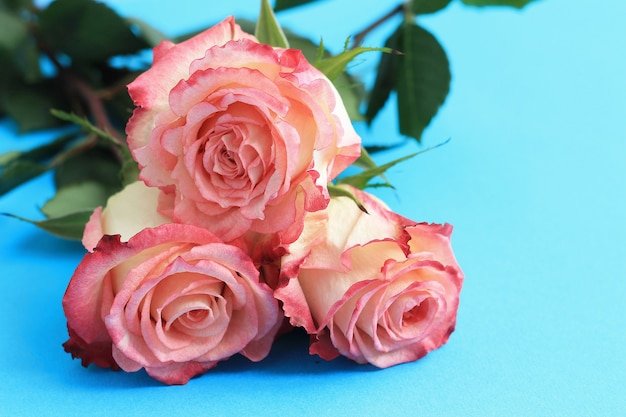 青い背景ボード上のピンクのバラ