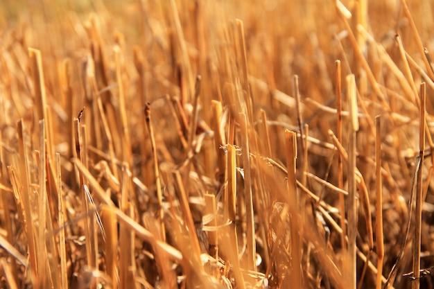 収穫後の黄色のフィールド