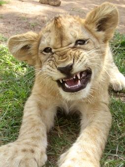 Красивый львенок