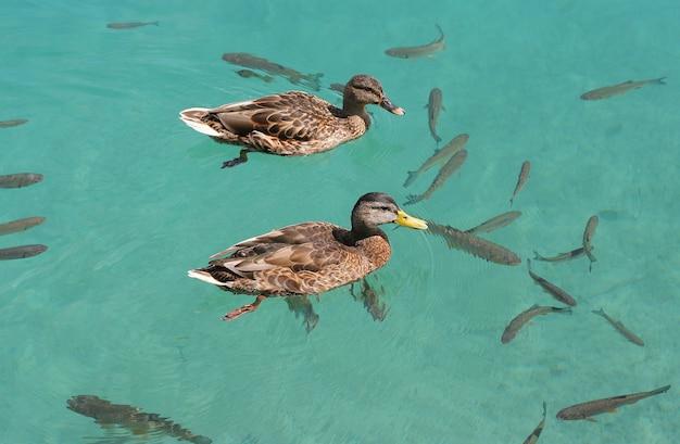 アヒルの池で泳いで