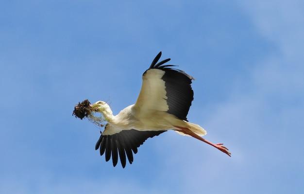 小枝と飛行中のコウノトリ
