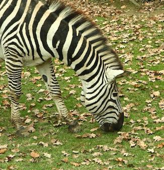 Красивая зебра в зоопарке сафари