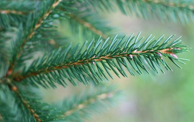 露と松の枝