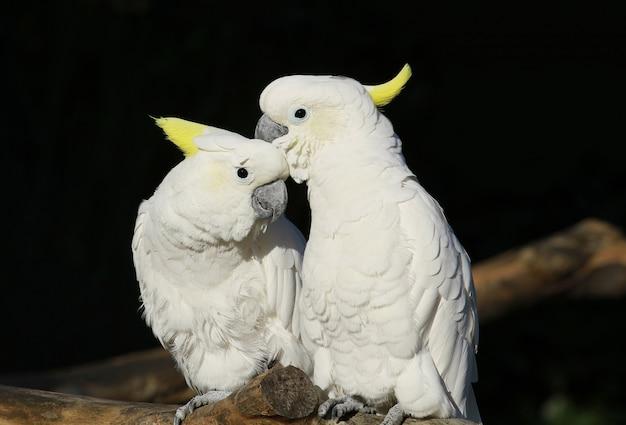 Пара белых попугаев в зоопарке