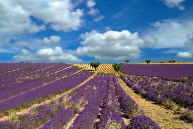 Лаванда цветок цветущие душистые поля