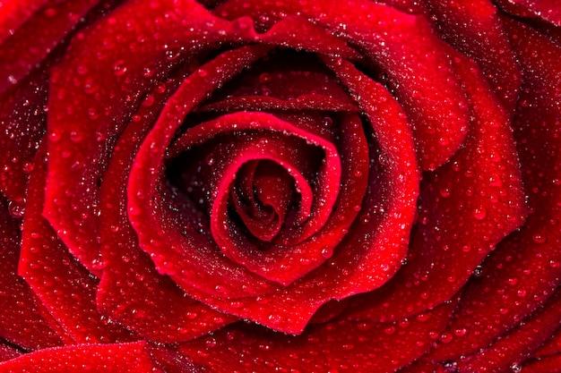 赤いバラを閉じる