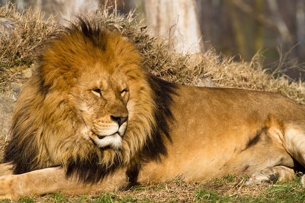 王ライオン