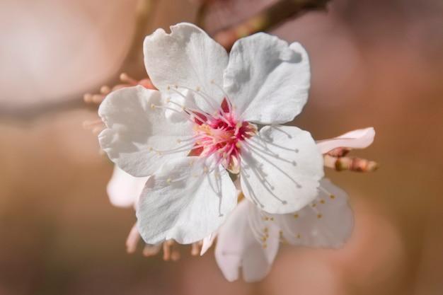 Миндальный цветок
