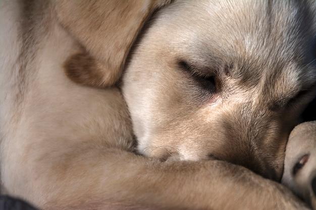 眠っている茶色の犬