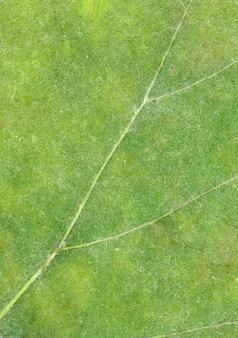 Вена зеленого листа