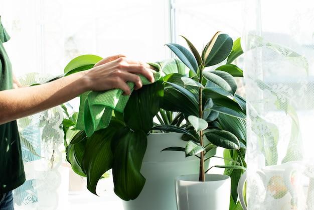Опрыскиватели и комнатные растения на подоконнике. уход за домашними растениями. опрыскивание водой. уход за садом. фикус. домашняя работа. уборка
