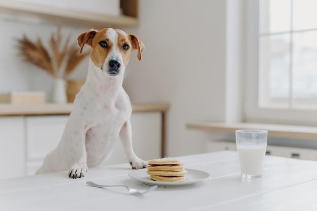 ジャックラッセルテリアは両方の足をパンケーキでテーブルに置きます
