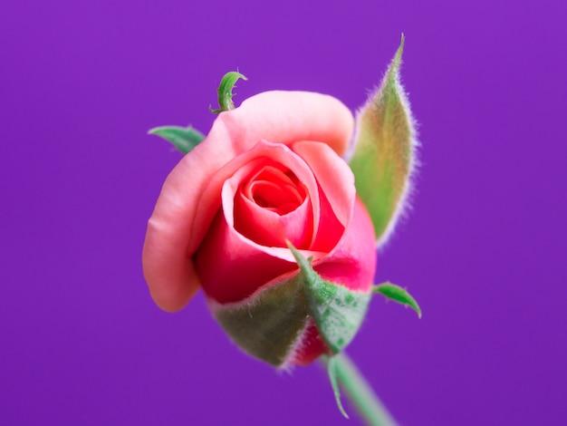 柔らかい背景に美しいピンクのバラ