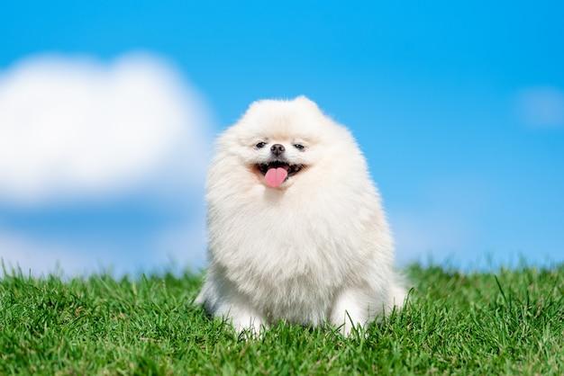 Шпиц породы белой собаки на зеленой траве на голубом небе облака.