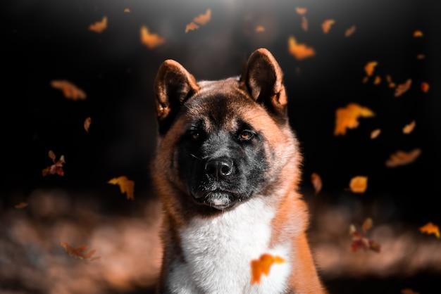 秋の紅葉の犬種アメリカ秋田の肖像画は公園に落ちる。