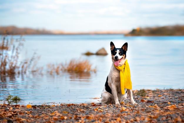 雑種犬は秋の公園でスカーフで歩きます。