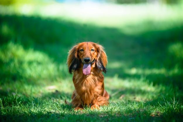 Собака породы такса в лесу на солнечной поляне.