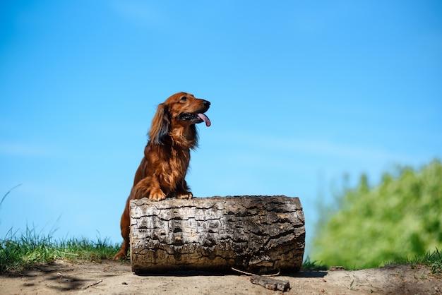 サニークリアの森で犬種ダックスフント。