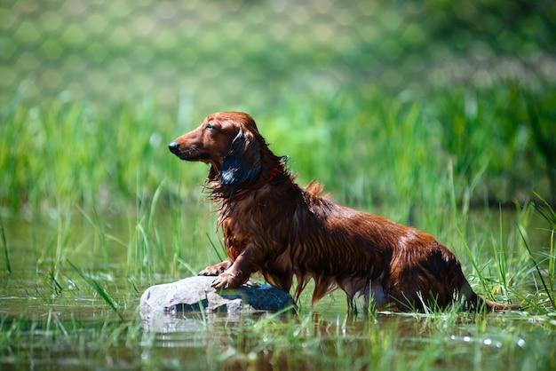 Такса собака сидит на скале на реке, цвет коричневый
