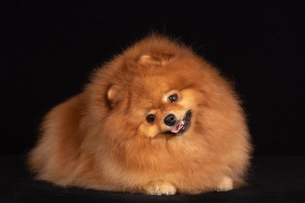 Собака породы поморская врет