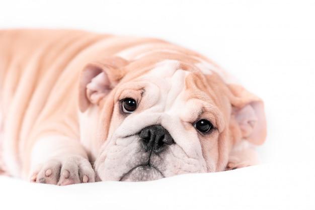 白い背景の上の子犬の品種英語ブルドッグ。分離します。