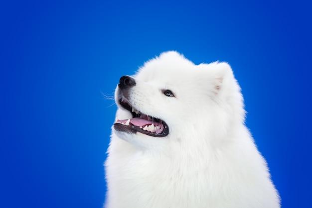Белая собака породы самоедов на синем фоне.