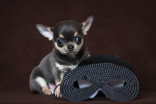 カーニバルマスクと青いチワワの子犬。マルディグラ。