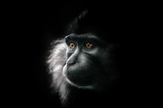 Черный хохлатый мангабей в зоопарке.