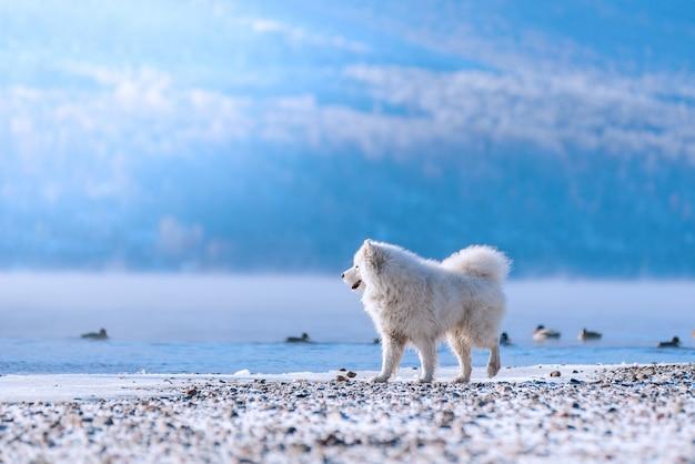 Самоедская собака на берегу сибирской реки зимой охотится на уток. красивый пейзаж.