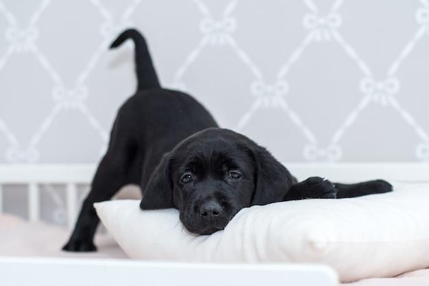 ベッドで遊んでいる黒のラブラドール子犬。