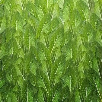ミントの葉のパターン。水の滴と新鮮なミント。