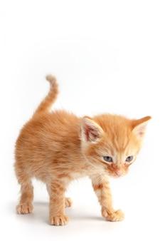 青い目をした小さなかわいい赤い子猫