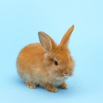 青い表面に小さな赤いふわふわウサギ。イースター休暇の概念