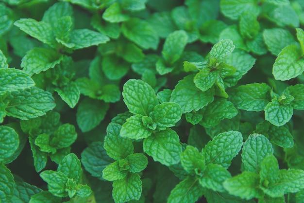 緑のペパーミントの葉の背景。平置き。自然の背景