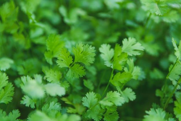 庭で新鮮な葉緑コリアンダー。